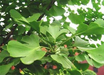 натуральные лекарства - гинкго билоба