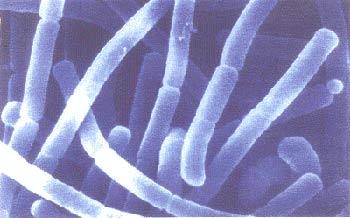лактобацилла бактерия
