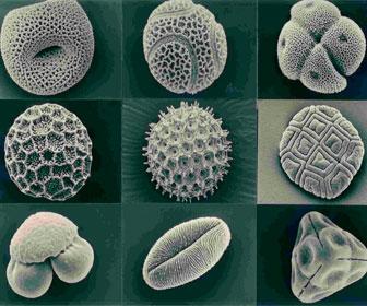 Пыльца растений при увеличении