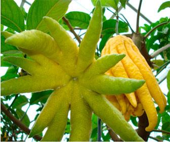 Как выглядит фрукт цитрон