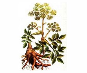 Лекарственное растение Дягиль